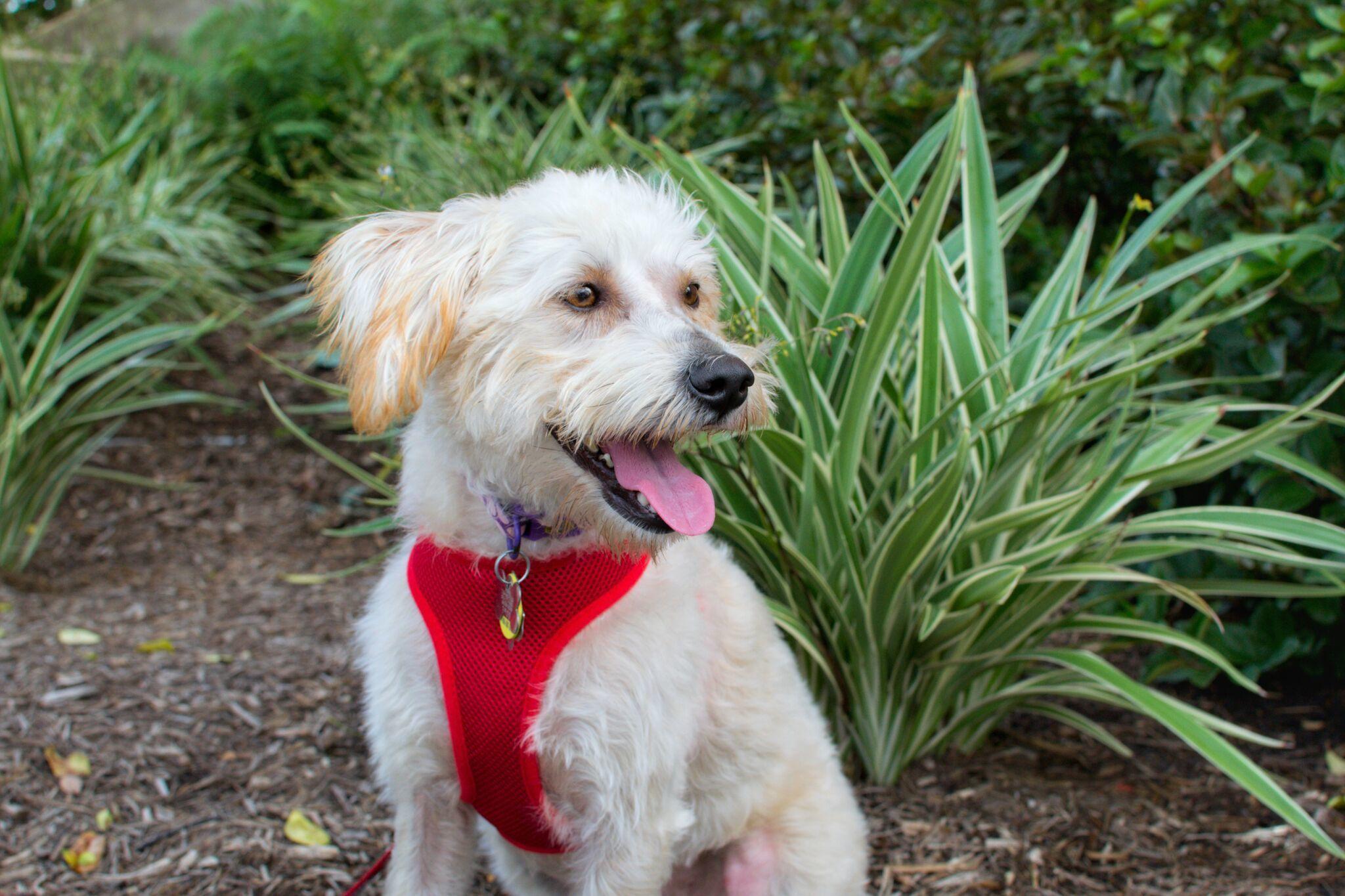 Adopt owena on terrier mix dogs miniature schnauzer