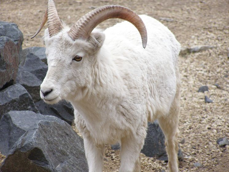 Dall Sheep Facts Size Color Diet Habitat And Pictures With