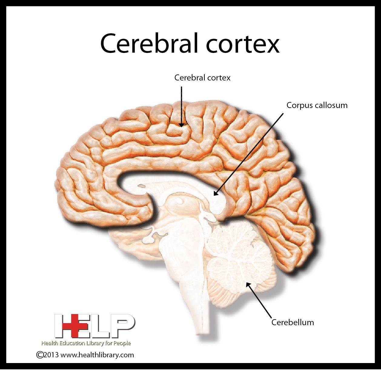 Cerebral Cortex   Nervous System   Pinterest