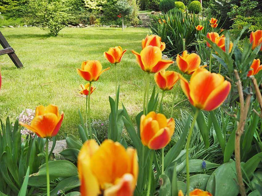 Gdy Juz Przekwitna Kwiaty Cebulowe Spraw By W Przyszlym Roku Byly Jak Nowe Bulb Flowers Flower Garden Plants