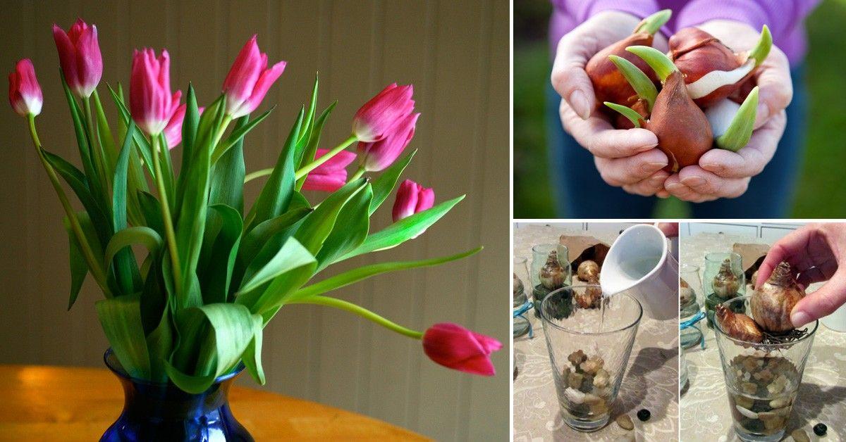 Cómo cultivar tulipanes en tu hogar | Recipientes de vidrio ...