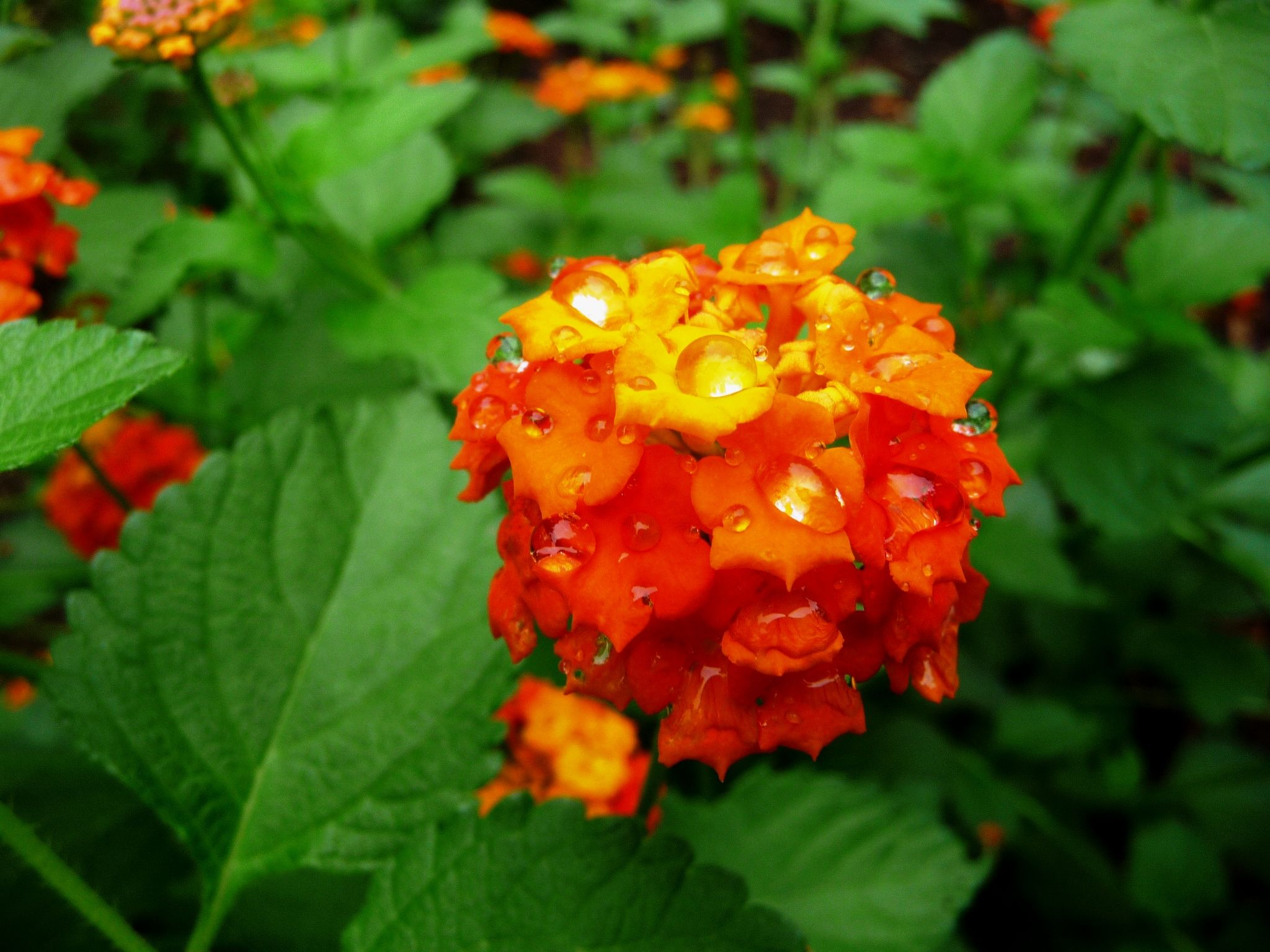 Miss huff lantana is a perennial here but most lantana varieties are miss huff lantana is a perennial here but most lantana varieties are annuals izmirmasajfo Gallery