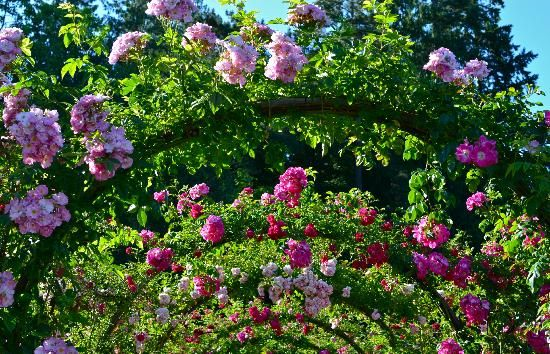 Butchart Gardens: One of the many rose arbors. #butchartgardens #flowers #butchartgardens