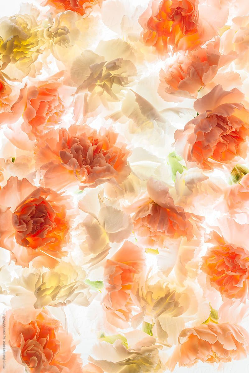 Carnation Flowers By Marc Bordons Stocksy United Stock