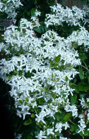 Silver Lace Vine Very Fragrant Small White Flowers Form Large Upright Panicles Upon Almost Every Inch Of This