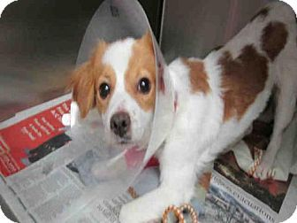 Orange Ca Cavalier King Charles Spaniel Mix Meet A1498227 A Dog For Adoption Http Www Adoptapet Com Pet 17287040 Oran Kitten Adoption Dog Adoption Pets