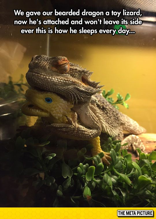 Bearded Dragon Finds A Friend Cute Reptiles Funny Animal Pictures Cute Animals