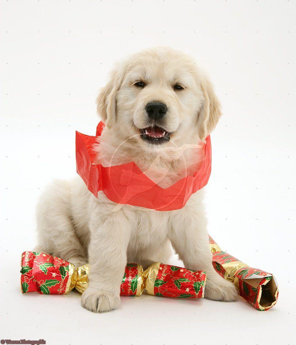 Golden retriever pup at christmas golden retriever miss