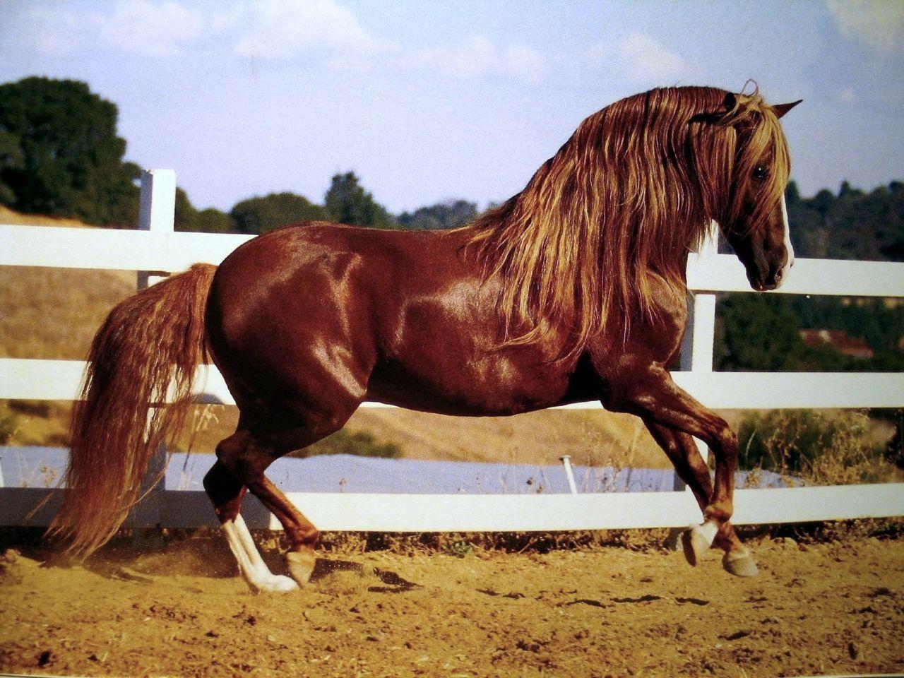 Glowing Beauty | Horses | Horses, Chestnut horse, Horse breeds - photo#9