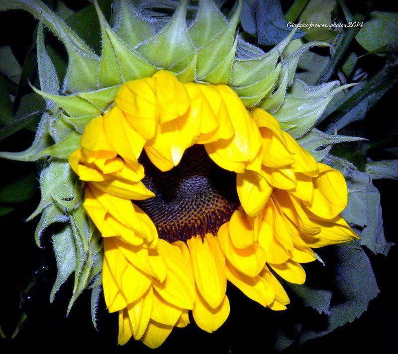 Sunflower Beauty Girasole Belezza Garden Plants