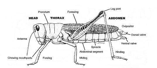 Diagram Of Grasshopper Body Parts - DIY Enthusiasts Wiring Diagrams •