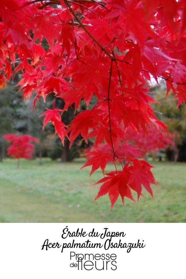 Erable du japon au feuillage clatant vert clair plus grand que celui de l 39 esp ce type qui se - Erable rouge du japon ...