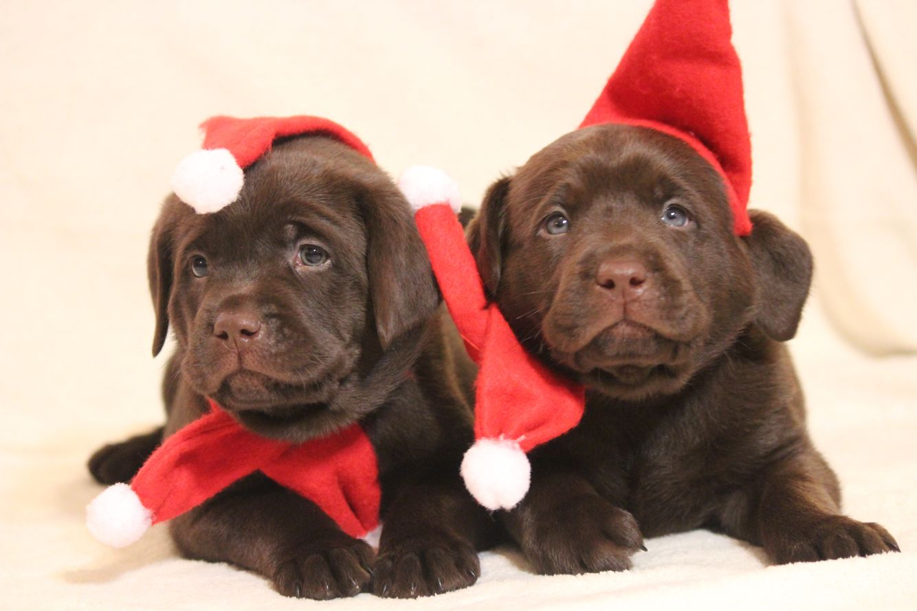 Merry Christmas Chocolate Lab Puppies Chocolate Lab Puppies Lab Puppies Animals