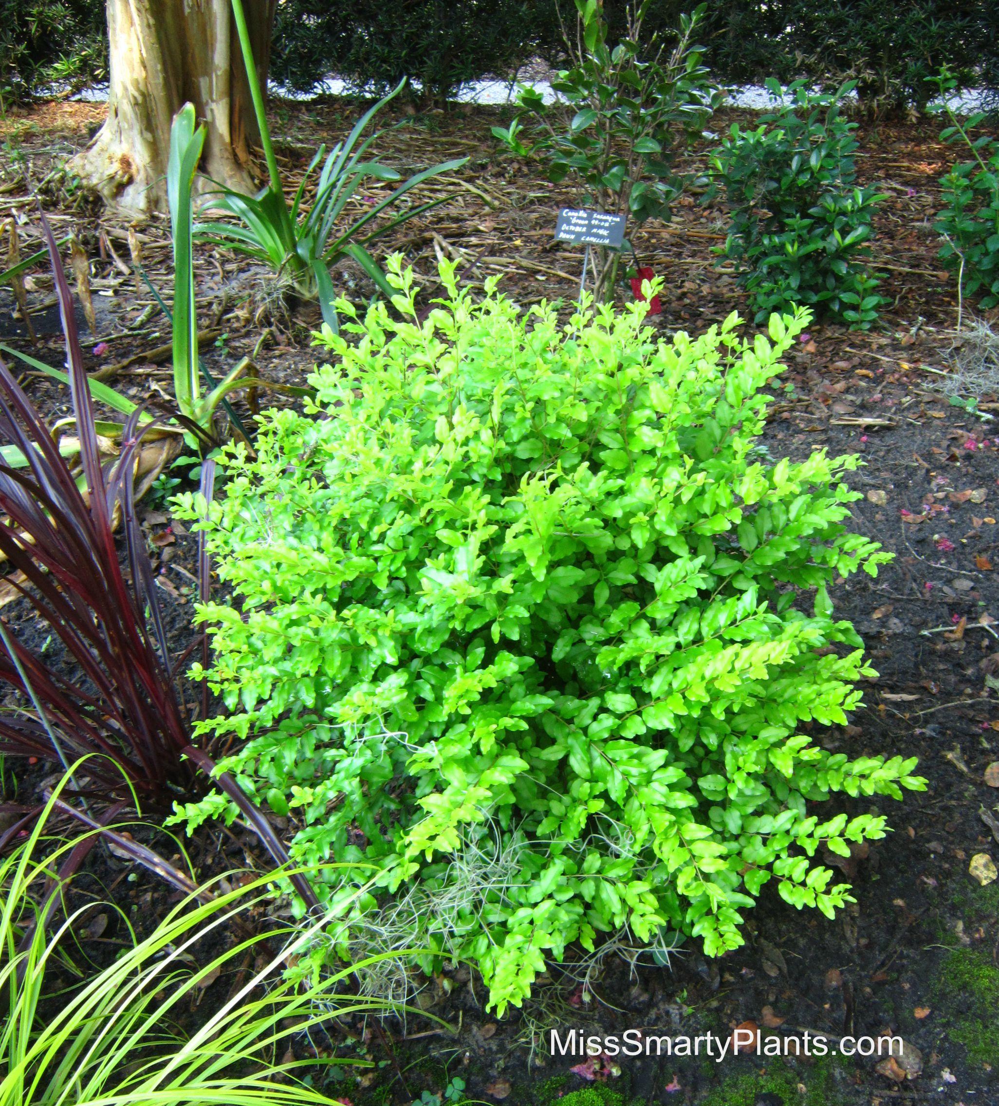 Ligustrum sinense sunshine light full sun to part shade for Small flowering trees full sun
