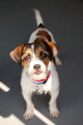 Best Friends In Atlanta Terrier Mix Dog Adoption Animals