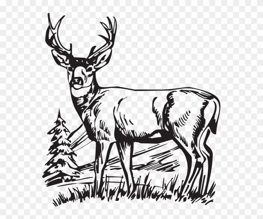 Download Hunting Deer Drawings Clipart White Tailed Deer Scenes Black And White Png Download 254437 Is A Creative Deer Drawing Drawing Clipart Drawings
