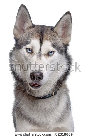 Siberian Husky In Front Of A White Background Husky Dogs Best Dogs