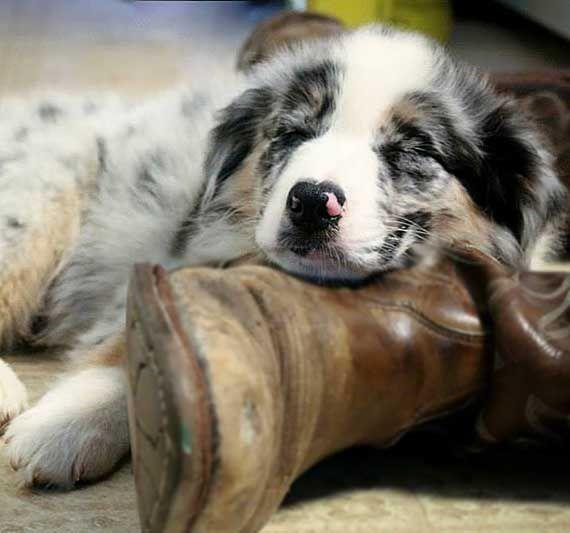 Australian Shepherd Photo of the Month — Photo: Tammy Marsh, Aussies: Tuf Cooper