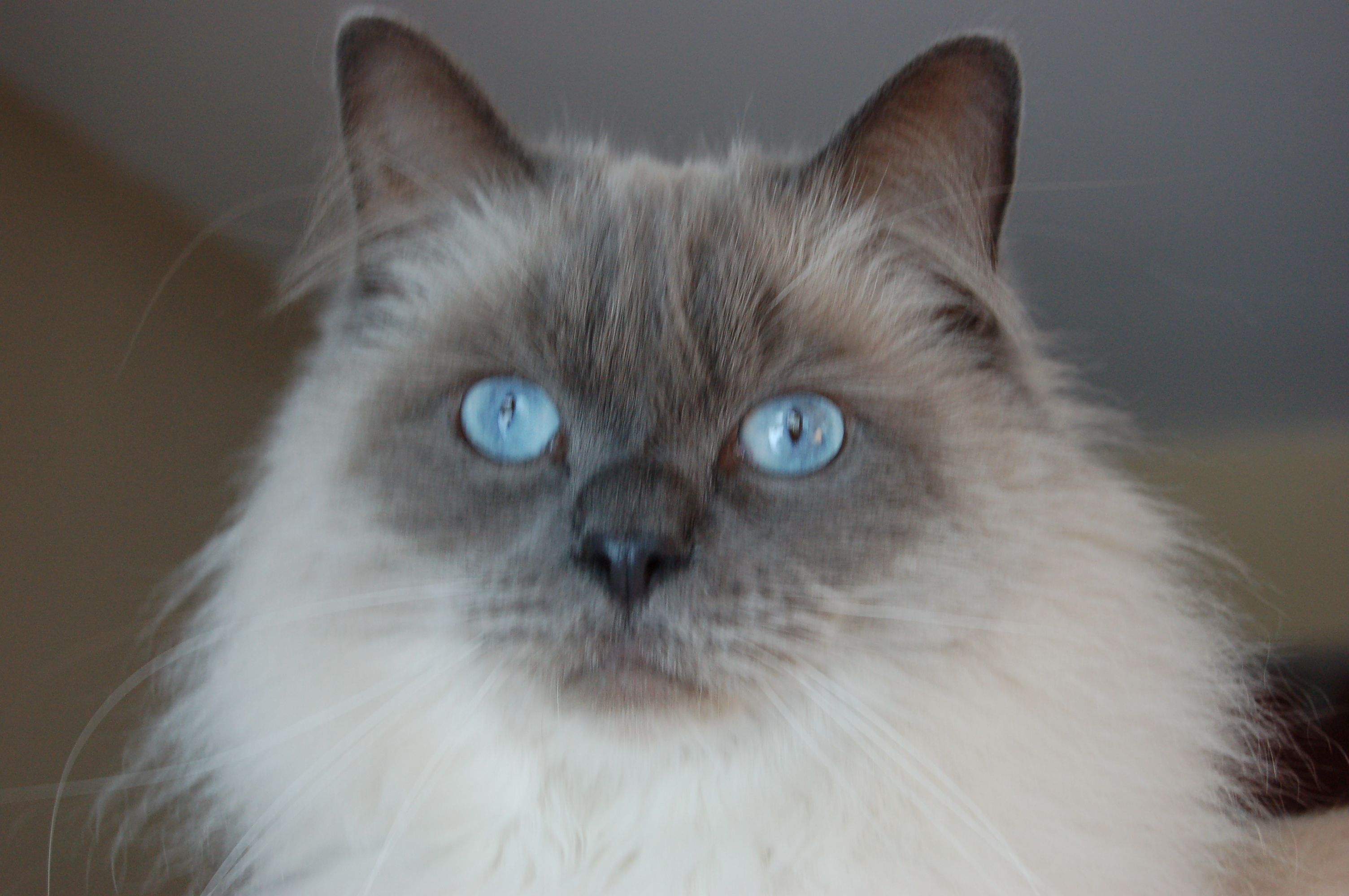 Lagniappe, our 8-year-old 'baby' Ragdoll