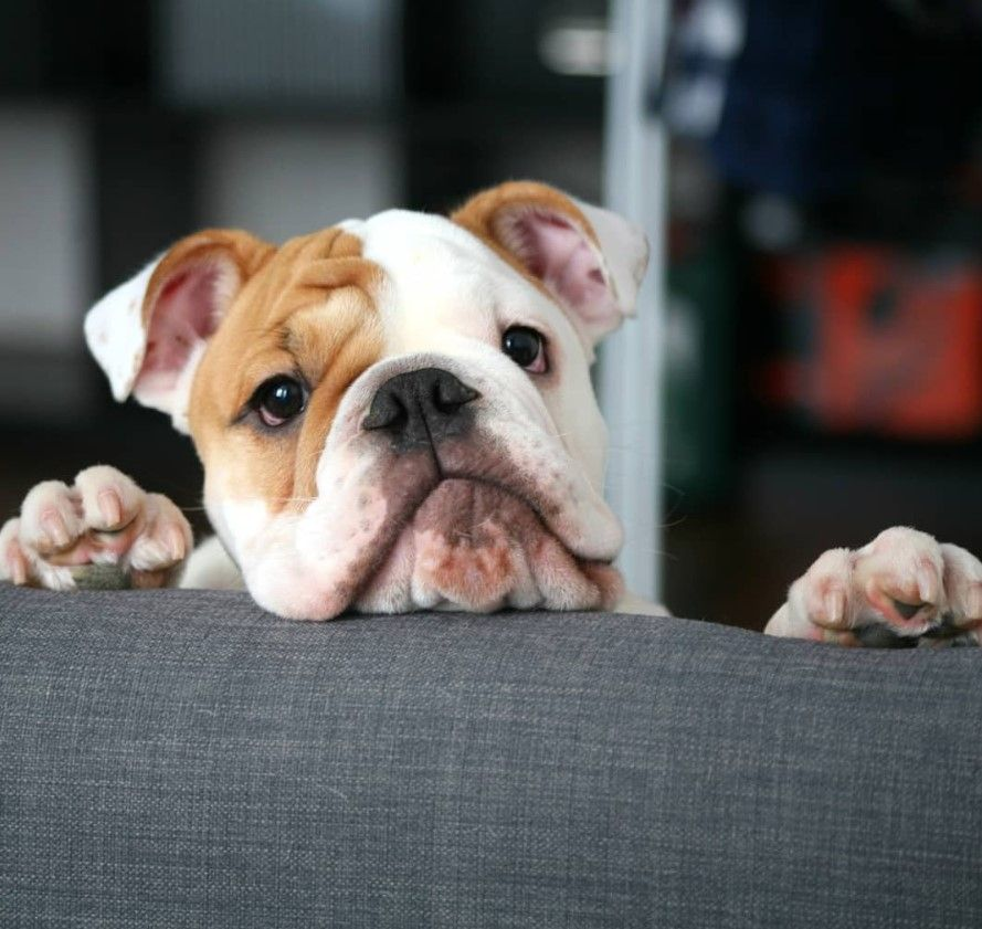 75 English Bulldog Male Dog Names Dog Breeds Bulldog Puppies