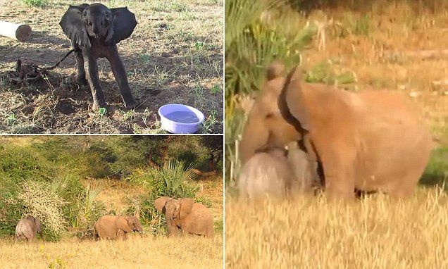 Rescued baby elephant is reunited with his mother in heartwarming clip