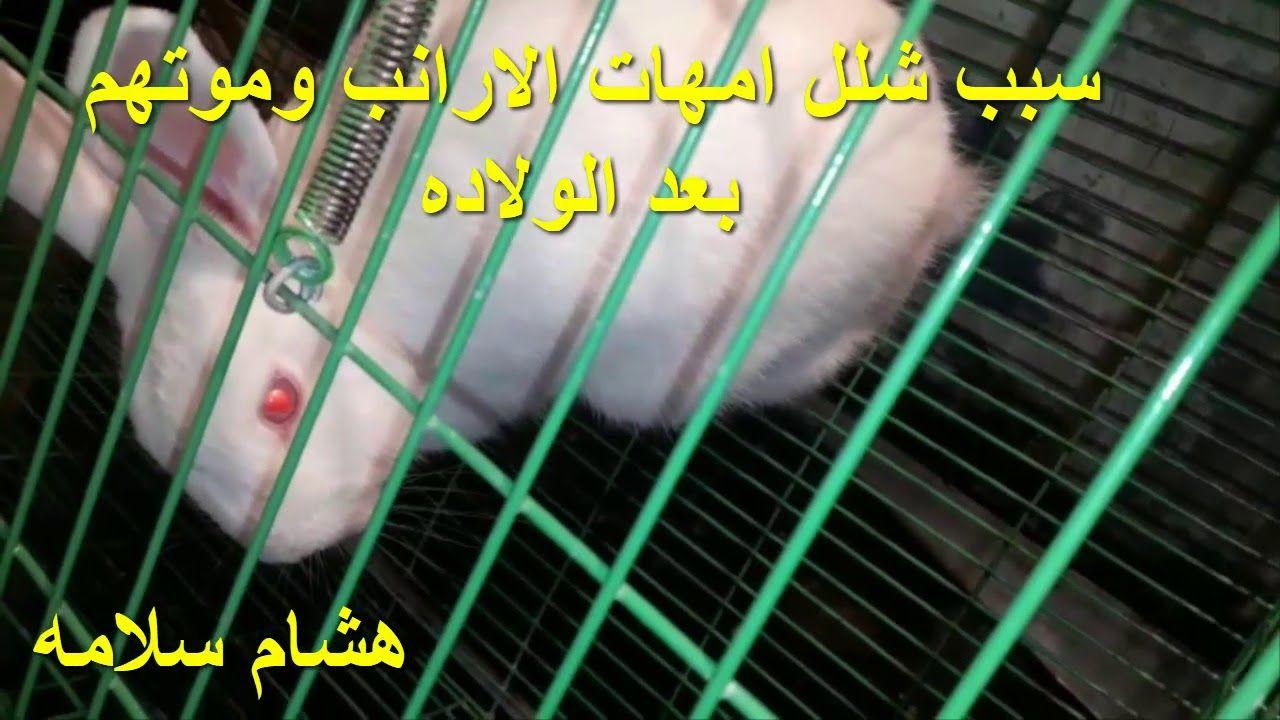 سبب شلل امهات الارانب وموتهم بعد الولاده Ferret Attributes