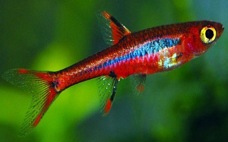 Boraras Brigittae Fresh Water Fish Tank Aquarium Fish Pink Fish
