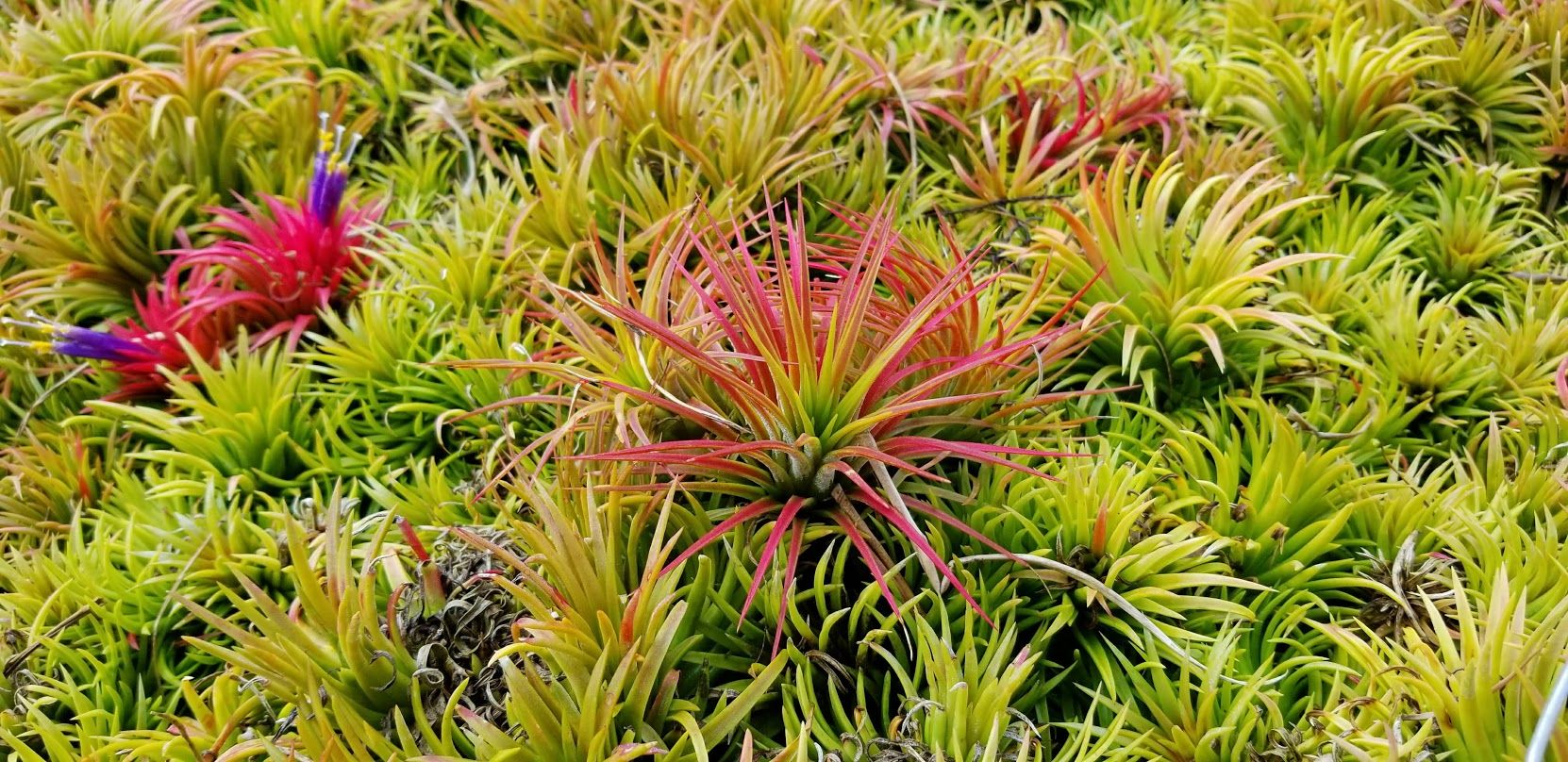 Tillandsia Ionantha Ron in the Greenhouse. Order all your