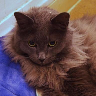 Denver, CO Smokey a Nebelung / Domestic Long Hair / Mixed Cat for Adoption Rocky Mountain Feline Rescue 2390 S Delaware St Denver, CO 80223 US feedback@rmfr-colorado.org (303) 744-6076 http://rmfr-colorado.org/