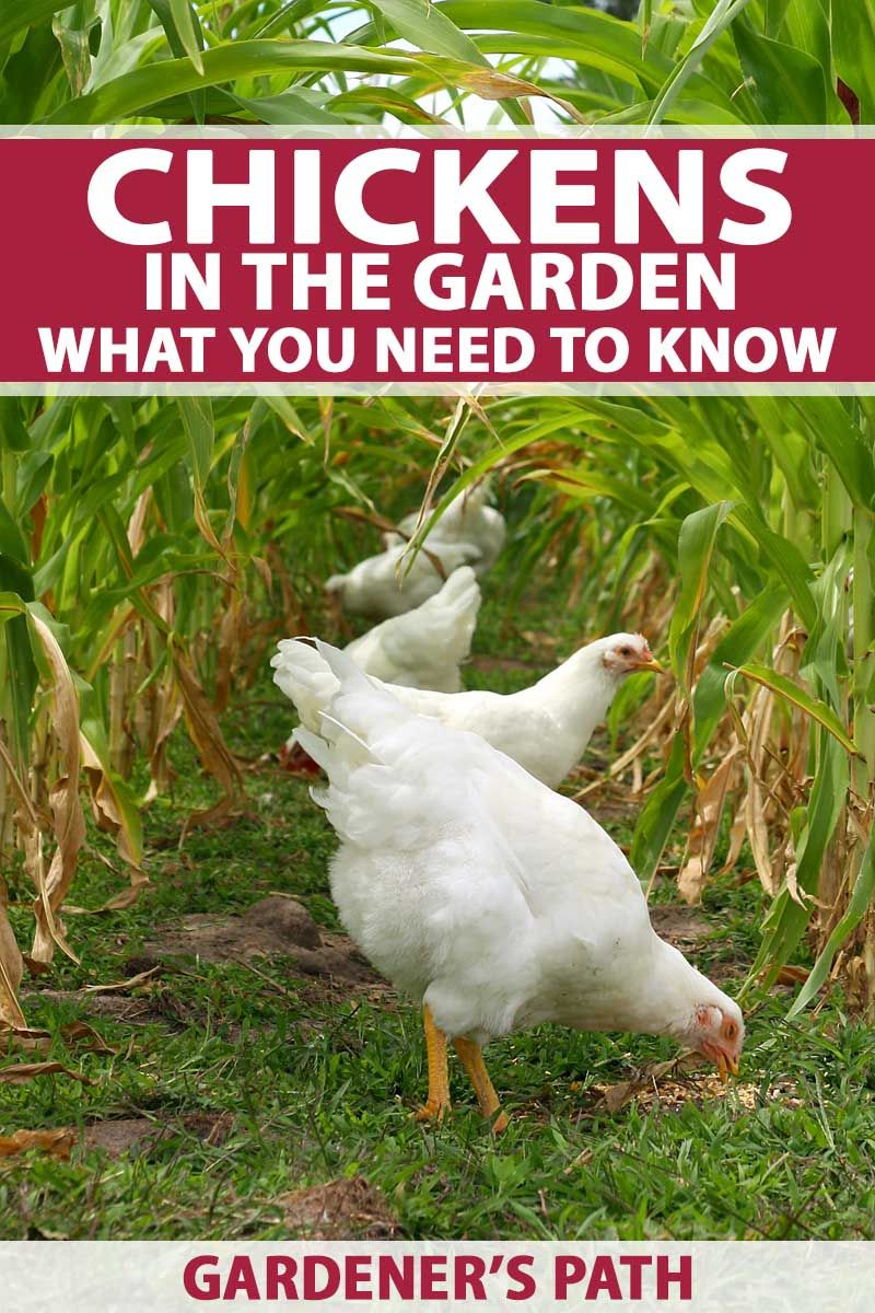Chickens in the Garden: What You Need to Know | Chicken ...