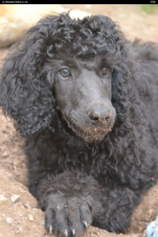 Standard Poodles For Sale Puppies For Sale Poodle Standard