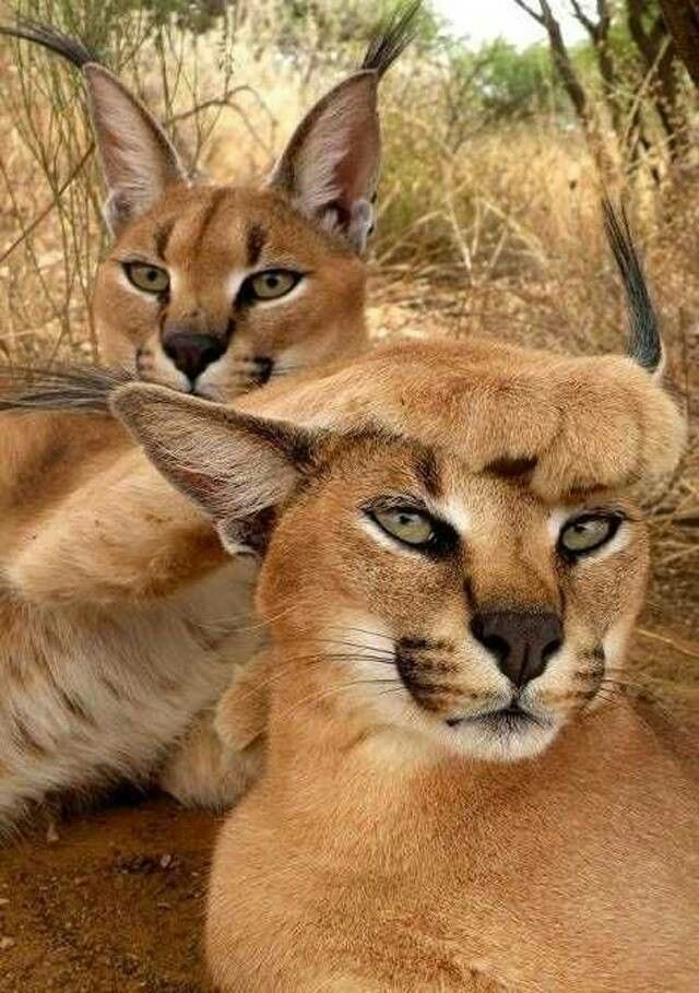 Beautiful Caracals. Their large paws help them catch birds
