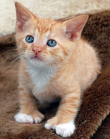 Polydactyl cat, i want one so bad! | some of my favs ... Orange Polydactyl Cat