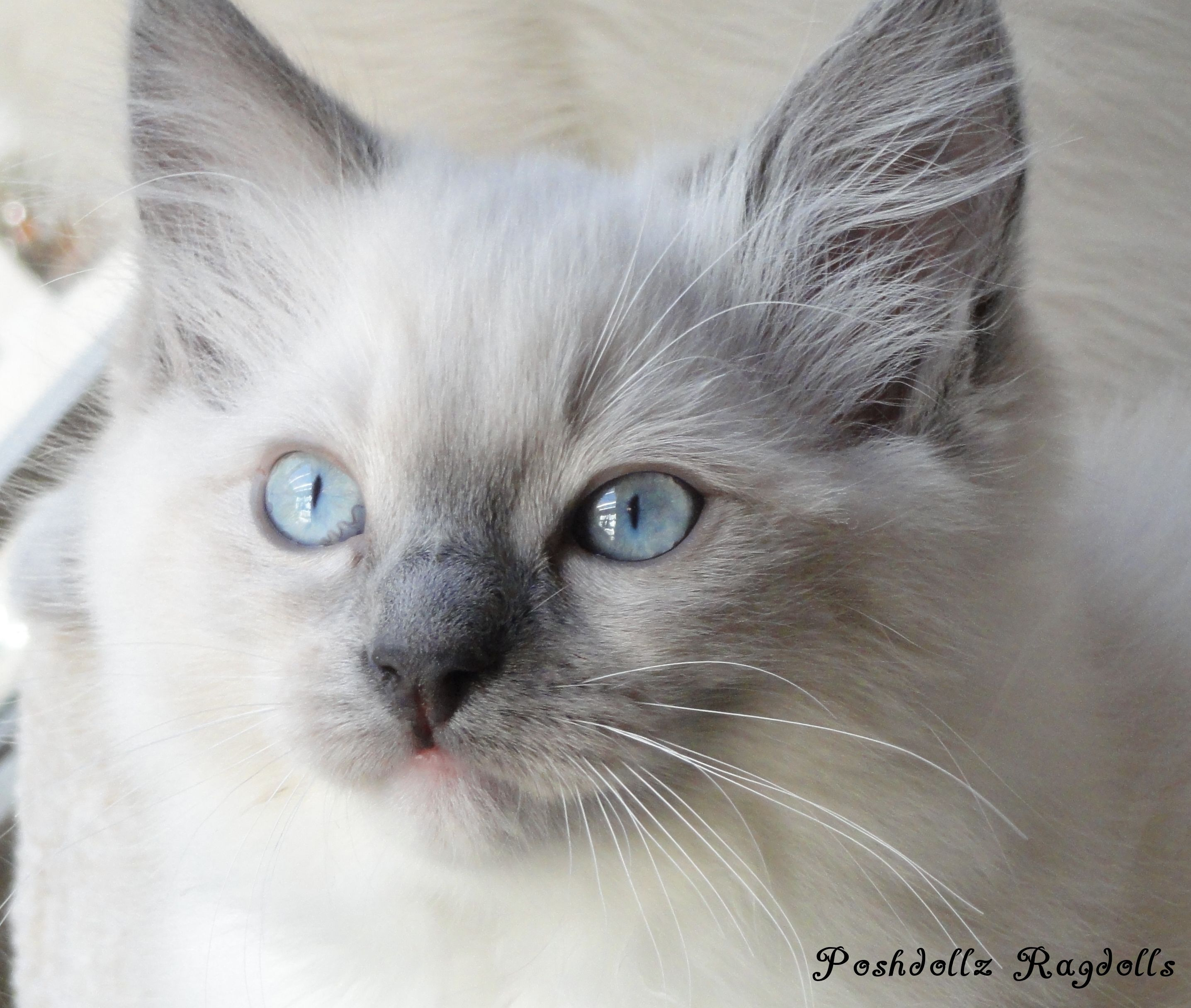 Blue Point Mitted Ragdoll Kitten Gorgeous Cats Pretty Cats Cats And Kittens