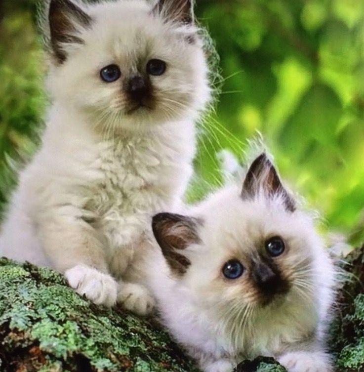 Pin by Beth Steier on Fluffy, puffy kittycats!!! Cute