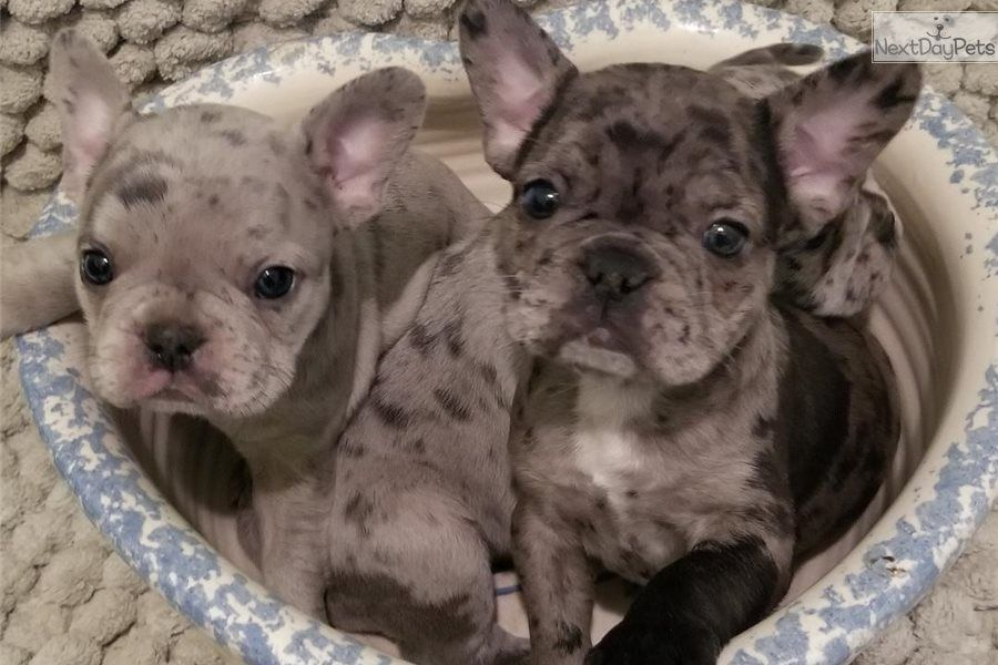 Matilda French Bulldog Puppy For Sale Near Houston Texas