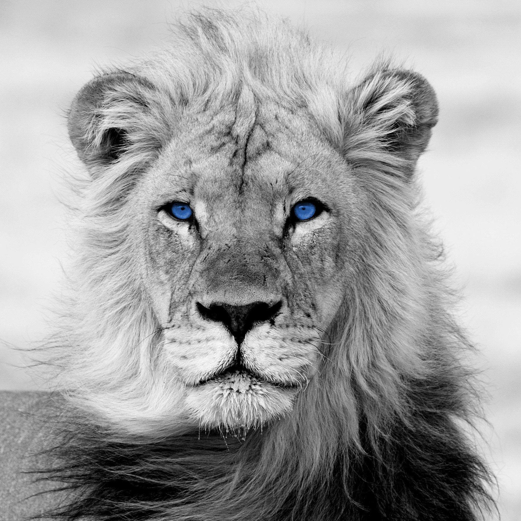 Verre Imprime King Lion Noir Et Blanc Artis L 50 X H 50 Cm En 2020 Lion Noir Et Blanc Lion Noir Fond D Ecran Lion