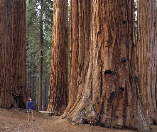 Redwood Forest CA, wow!!