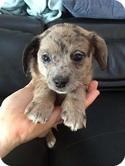 Boston Ma Dachshund Corgi Mix Meet Harriet A Puppy For Adoption Pug Mixed Breeds Puppy Adoption Corgi Mix