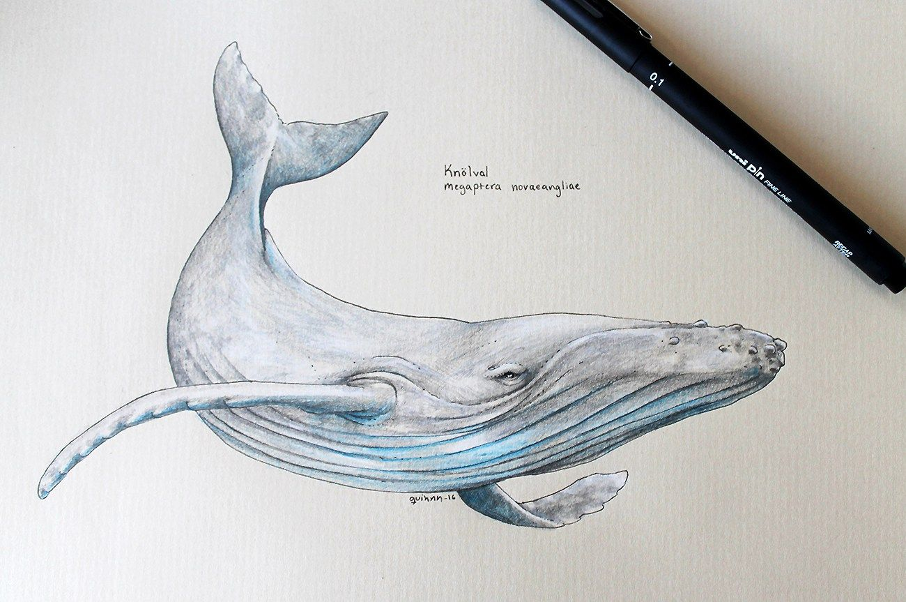 humpback whale scientific drawing | Tattoos | Pinterest | Tatuajes ...