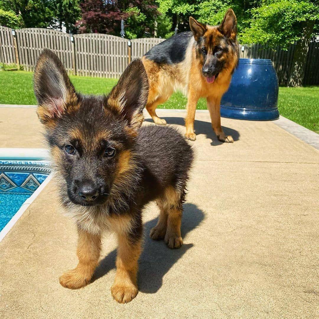 How Your German Shepherd Show Her His Love 12 Secrets In 2020 German Shepherd German Shepherd Puppies Dogs