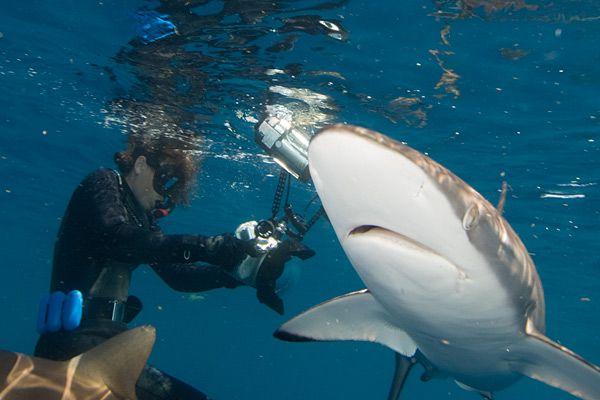 silky shark | Silky Shark Pictures - Carcharhinus falciformis Images