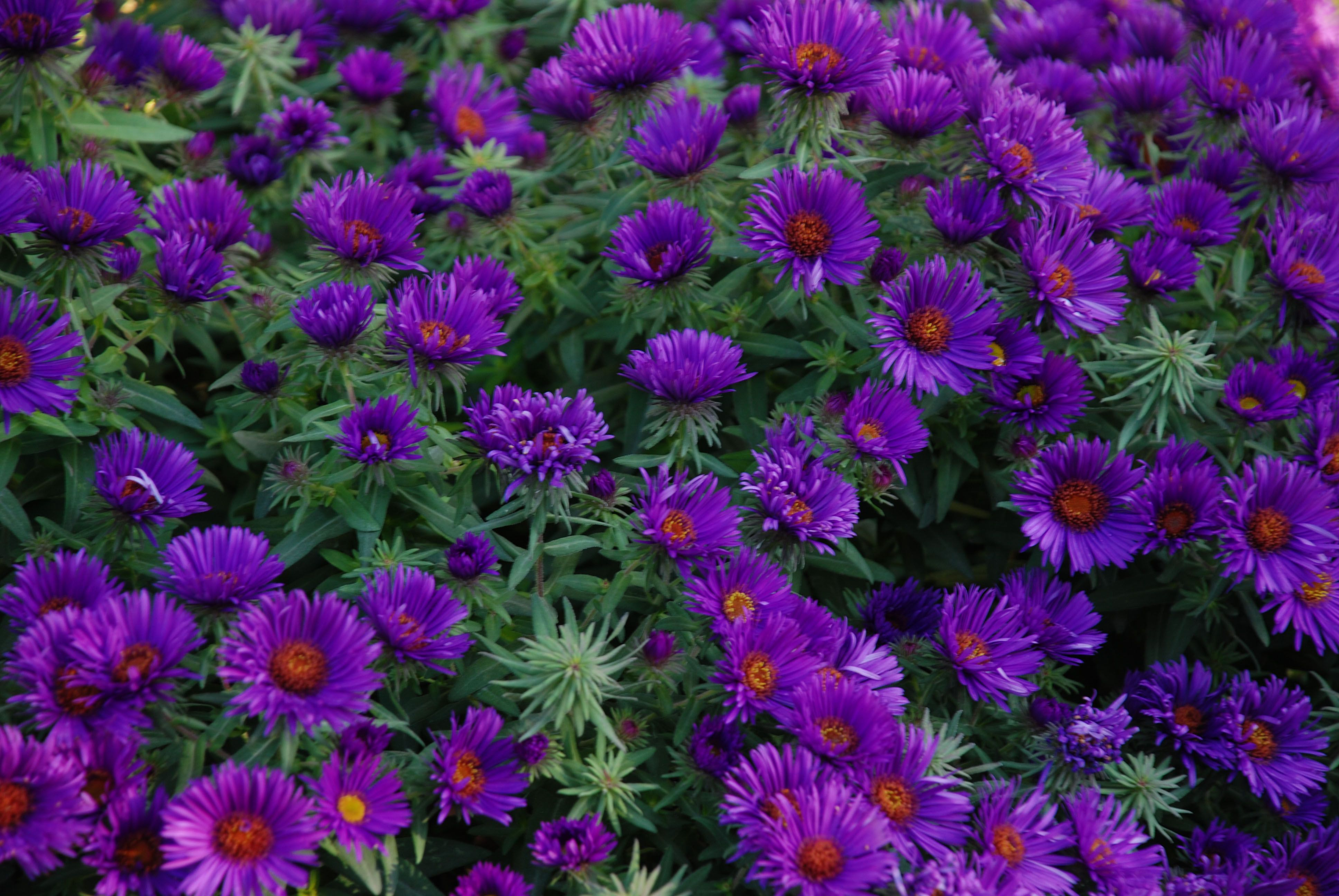 Aster Novae Angliae Purple Dome Purple Mums Butterfly Garden Planting Flowers