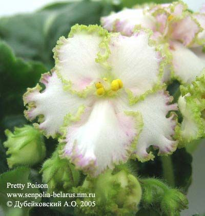 African violet flowers african violet pretty poison gesneriads african violet flowers african violet pretty poison mightylinksfo Images