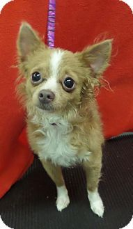 Mukwonago Wi Chihuahua Meet Comet A Dog For Adoption Http