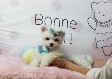 Malcolm The Maltese For Sale See All My Beautiful Puppies At Www Teacuppuppiesstore Com And Teacup Puppies Maltese Puppies For Sale Cute Teacup Puppies