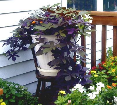 Untitled   Large garden planters, Potato vines, Sweet ...
