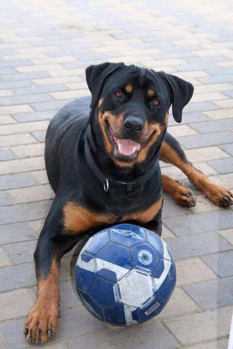 Pin By Mike Garrett On Rotts Cute Animals Dogs Rottweiler