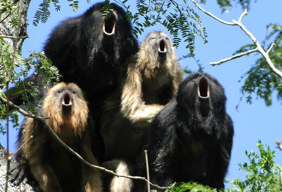10 Awesome Animals That Start With The Letter H Animals Beautiful Cat Breeds Howler Monkey