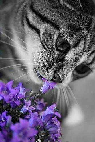 Purple Campanula Kitteh Cats Pretty Cats Cute Cats